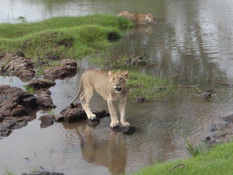 Leeuw bij water