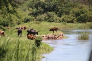 Koeien in de Okavango