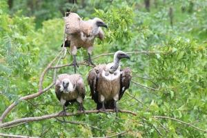 Vultures Zimbabwe