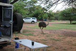 struisvogel op bezoek