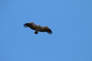 Vulture Marakele